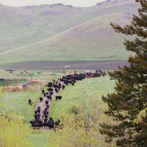 CattleDrive062