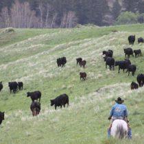 CattleDrive091