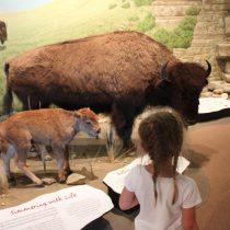 M bison