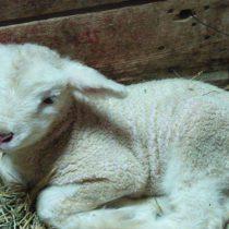 One lamb