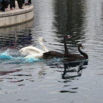 Swans Gibson Park 011
