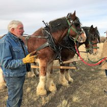 Clydesdales ready to give haywagon rides